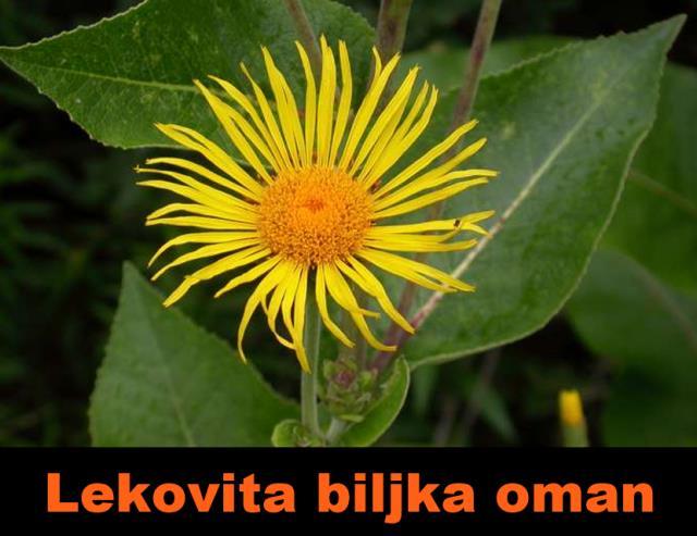 biljka oman